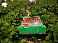 Norwegia praca przy zbiorach truskawek od czerwca 2013 oferta sezonowa