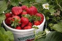 Rolnictwo sezonowe oferty pracy w Anglii przy zbiorach owoców 2013