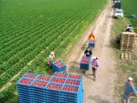 Praca Holandia przy zbiorach truskawek od zaraz na farmie w Almelo