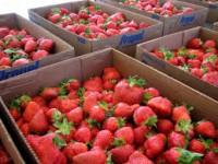 Sezonowa praca w Niemczech przy zbiorach truskawek od zaraz 2013