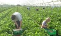 Oferty pracy w Holandii przy zbiorach owoców od zaraz bez znajomości języka