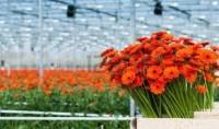 Holandia praca sezonowa przy kwiatach od zaraz ogrodnictwo 2013-2014