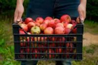 Ogłoszenie Anglia praca przy zbiorach jabłek Chartham bez znajomości języka