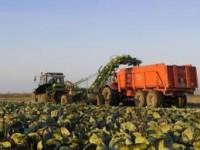 Od zaraz oferta pracy w Niemczech w rolnictwie przy zbiorach kapusty
