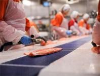 Praca w Norwegii w przetwórni rybnej bez znajomości języka Stavanger