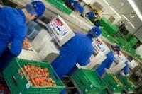 Anglia praca na linii produkcyjnej przy kontroli jakości owoców Kent
