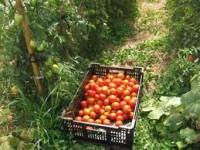 Praca Holandia przy pomidorach w rolnictwie Rotterdam od zaraz bez języka