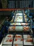 Praca w Anglii dla kontrolera jakości przy pakowaniu owoców Londyn