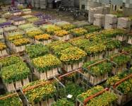Holandia praca stała przy kwiatach w szklarni od zaraz 2014