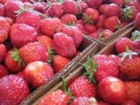Oferta sezonowej pracy w Holandii przy zbiorze truskawek szklarniowych Limburgia