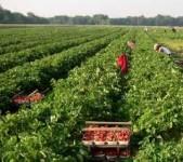 Sezonowa praca Anglia przy zbiorach truskawek bez znajomości języka Kent