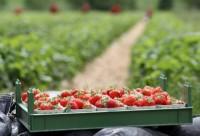 Anglia praca sezonowa przy zbiorach truskawek bez języka Elmhurst
