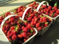 Dania praca sezonowa dla kobiet bez języka zbiory truskawek w szklarni