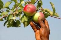 Niemcy praca sezonowa przy zbiorach jabłek bez języka Badenia-Wirtembergia