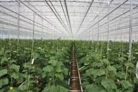 Norwegia praca przy zbiorach warzyw w szklarni bez języka Kongsvinger 2018
